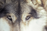 Close-Up of Gray Wolf Eyes Photographic Print by Renaud Visage