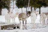 Reindeer Posters by  Molka