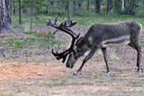 Reindeer Stag with Exceptionally Long Antlers Feeding in Natural Habitat in a Forest in Lapland, Sc Prints by  1photo