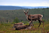 Wild Reindeer on Top of a Mountain in Lapland, Scandinavia Prints by  1photo