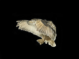 Eagle Owl Flapping His Wings Photographic Print by Michael Blann