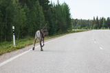 Reindeer on the Road. Northern Finland Prints by  perszing1982