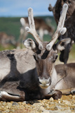 Wild Reindeer Looking at You, on a Mountain Top in Lapland, Scandinavia Posters by  1photo