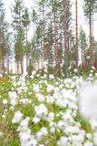 Cottongrass in Forest Photographic Print by  lubastock