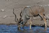 Kudu Bull Photographic Print by Tobie Oosthuizen