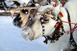Reindeer Photo by  3355m