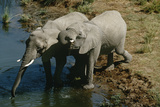 Namibia, Two African Bush Elephants Drinking Water from River, Elevated View Photographic Print by  Nosnibor137