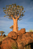 Quiver Tree Forest Photographic Print by  watchtheworld