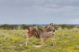 Young Zebra and Her Mother Posters by  Circumnavigation