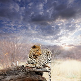 Leopard in Bush Photographic Print by Andrushko Galyna