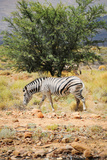 One Wild Zebra in Afrian Bush Prints by  Marsy