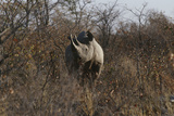 Namibia, Black Rhinoceros Standing amongst Bushes Photographic Print by  Nosnibor137