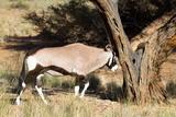 Oryx Antelope Hitting A Tree Photographic Print by  Circumnavigation