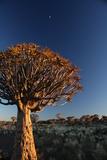 Kookaboom Tree at Sunset Photographic Print by  zozobaker