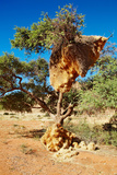 Tree with Big Nest of Weaver Birds Colony, Kalahari Desert, Namibia Photographic Print by  DmitryP