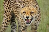 Cheetah Snarl Photographic Print by  E.H.B.