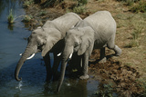 Namibia, Two African Bush Elephants Drinking Water from River, Elevated View Print by  Nosnibor137