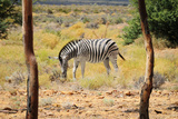 Zebra in Wild African Bush Poster by  Marsy