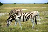 Grazing Zebra in Etosha Prints by  watchtheworld