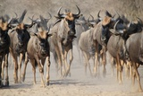 Blue Wildebeest Migration - Dust and Horns from Africa Photographic Print by Naturally Africa