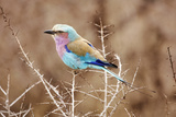 Lilac Breasted Roller in Thorn Tree Photographic Print by  JLindsay