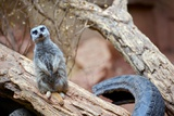 Meerkat - Suricate Photographic Print by  duallogic