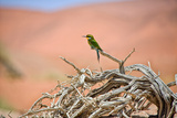 Bee Eater on A Dead Tree in Namib Naukluft National Park Namibia Africa Reproduction photographique par  photogallet