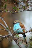 Racket-Tailed Roller Papier Photo par  guntherize1
