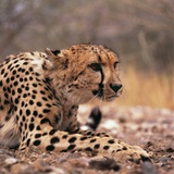 Cheetah Photographic Print by  Gi0572