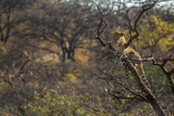 Male Leopard in a Tree Photographic Print by  PattrickJS
