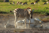 Two Zebras Playing in the Dust Print by  Circumnavigation