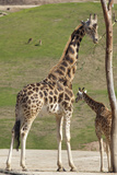 Close up View of Giraffe Staying near Tree and Eating Fotografiskt tryck av  trubach