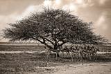 Acia Tree with Springbok Herd Photographic Print by  dmussman