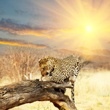 Leopard on Tree at Dawn Photographic Print by Andrushko Galyna