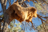 Sociable Weavers Big Nest. Namibia. Africa. Photographic Print by Lucas de Max