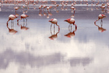 Flamingos Photographic Print by Stefano Zuliani photo