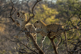 Leopards in Tree Photographic Print by  PattrickJS