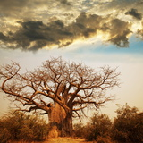 Baobab Tree Photographic Print by Andrushko Galyna