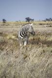 Zebra in Etosha Park Photo by  Jeesoen