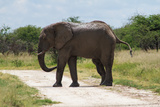 Adult Male Elephant Crossing the Road Posters by  Circumnavigation