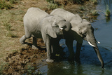 Namibia Two African Bush Elephants Drinking Water from River Elevated View Posters by  Nosnibor137