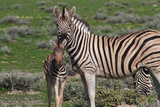 Curious Young Zebra and Her Mother Poster by  Circumnavigation