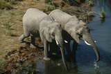 Namibia Two African Bush Elephants Drinking Water from River Elevated View Prints by  Nosnibor137