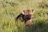 Young Spotted Hyena Hiding in the Grass Photographic Print by  Circumnavigation