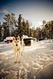 Husky Dog Fotografisk trykk av Rebecca Lippett