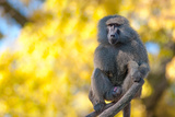 Portrait Fo African Baboon Monkey Photographic Print by  irontrybex