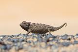 Namaqua Chameleon Hunting in the Namib Desert Fotografisk trykk av Micha Klootwijk