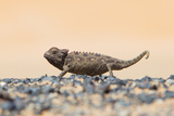 Namaqua Chameleon Hunting in the Namib Desert Photographic Print by Micha Klootwijk