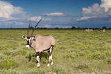 Oryx Antelope at Etosha National Park Photographic Print by  Circumnavigation