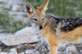 Close up of A Jackal Photographic Print by  Circumnavigation